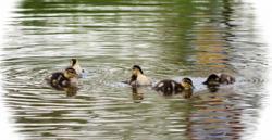 ducks_sm